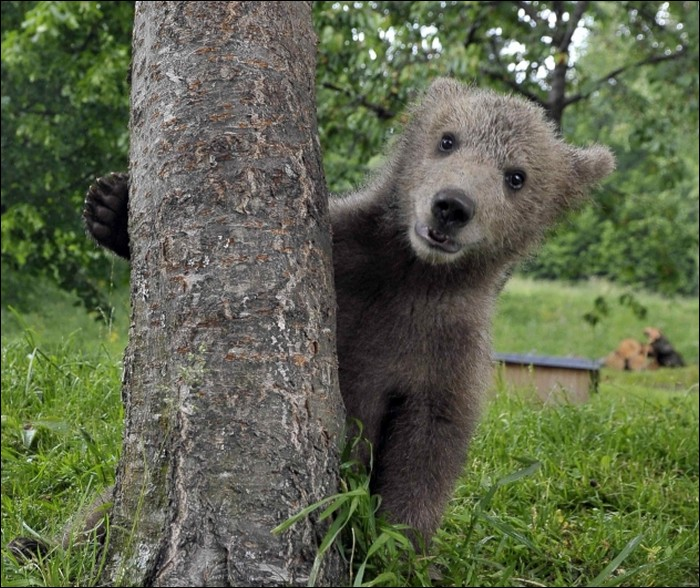 Bear as a pet?