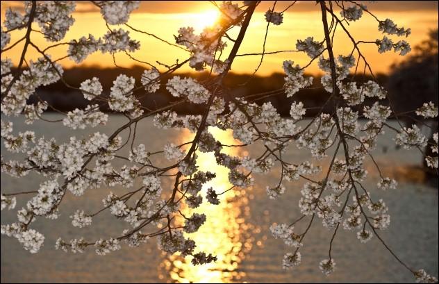 Cherry blossom in Washington