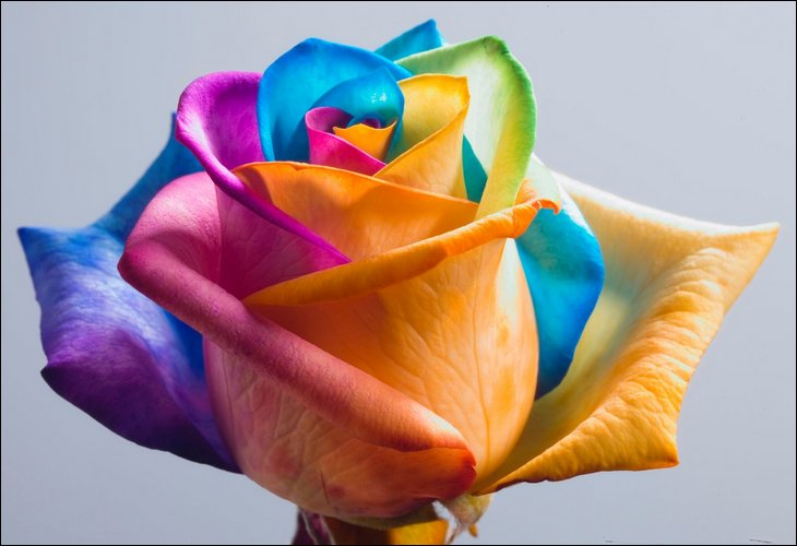 Rainbow Roses