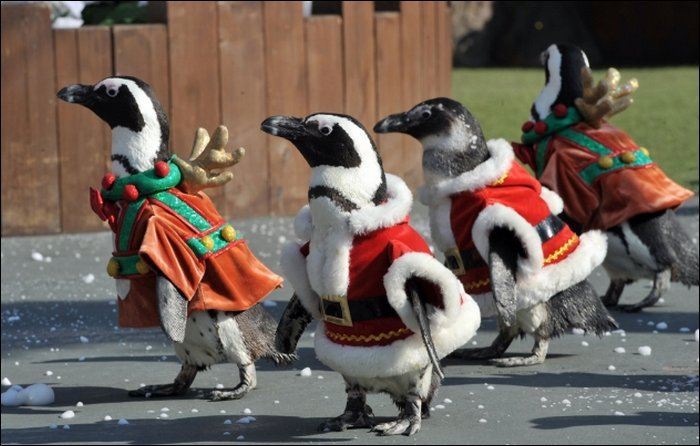 Santa Penguins