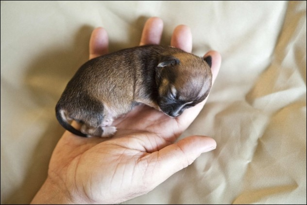 Beyonce, the world\'s smallest dog