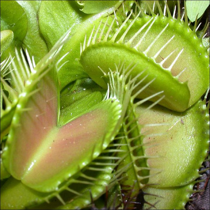Venus Fly Trap Information