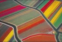 Holland Tulip Fields: Rainbow that lasts little longer
