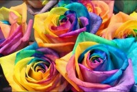 Rainbow Roses: All Colors in One Rose