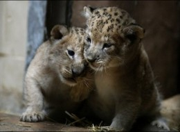 Baby lion twins from Bulgarian zoo