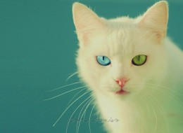 Cats with different eye colors: NOT PHOTOSHOPPED!