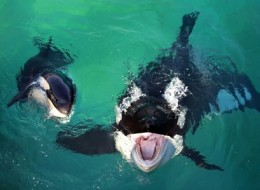 Swimming with killer whales in Marineland, France
