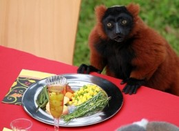 A Thanksgiving feast for lemurs