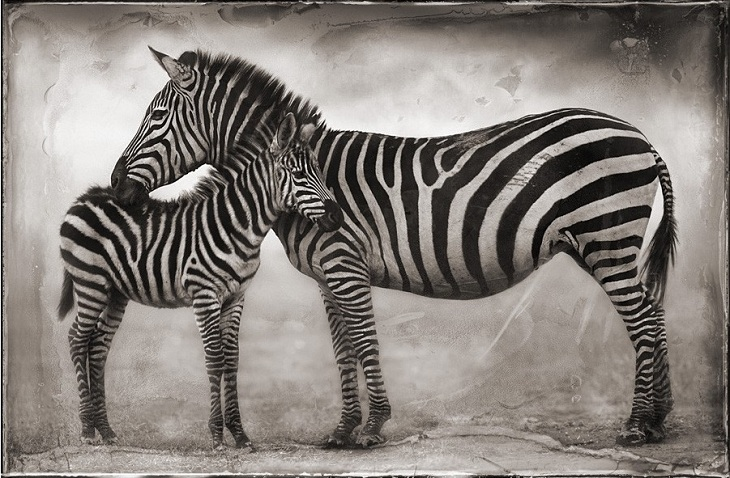 Zebra baby and mother - photo#19