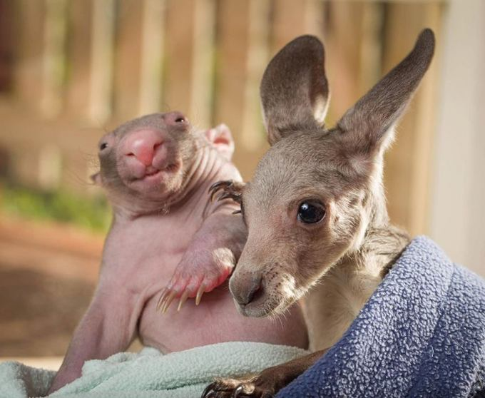 kangaroo-wombat-blanket