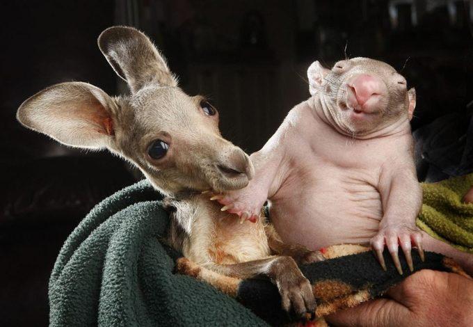 kangaroo-wombat-cuddling