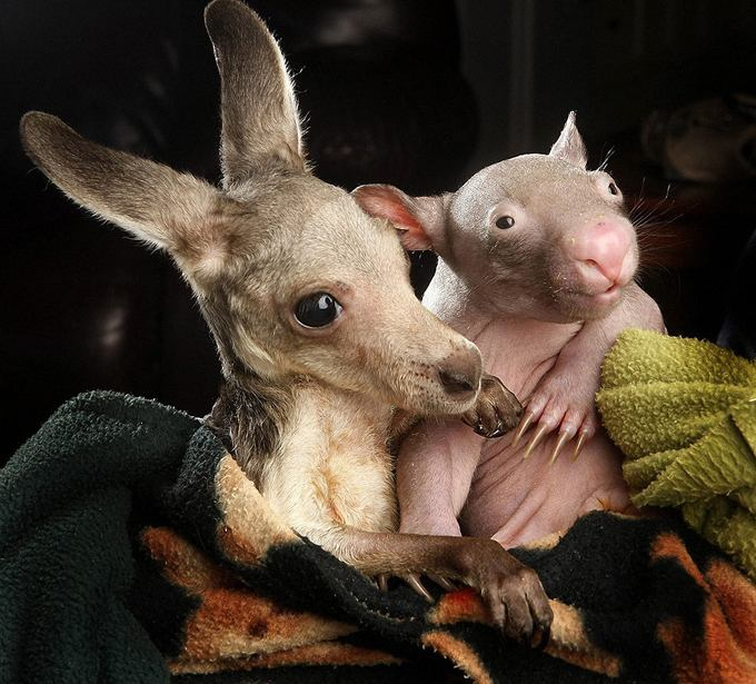 kangaroo-wombat-cute-couple