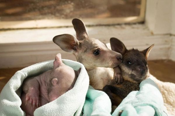 kangaroo-wombat-naps