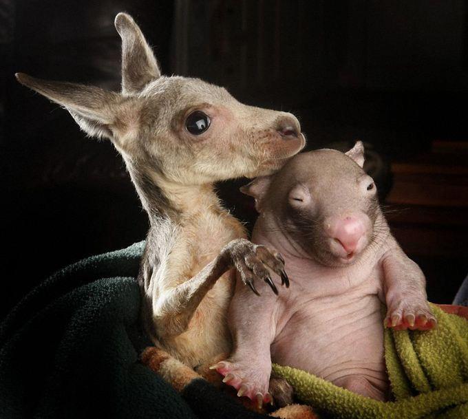 kangaroo-wombat-nurture