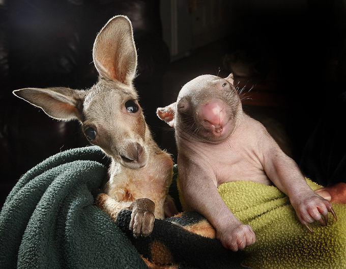 kangaroo-wombat-portrait