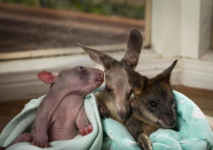 kangaroo-wombat-whisper