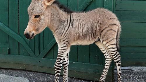Zonkey: Half Zebra, Half Donkey