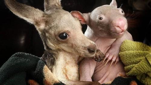 Adorable Friendship  Between Baby Kangaroo And Baby Wombat